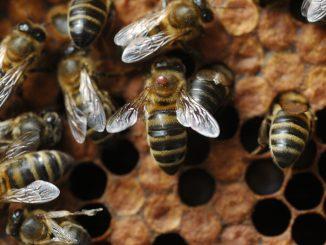honeybee_varroa