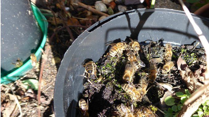 Bees on Compost
