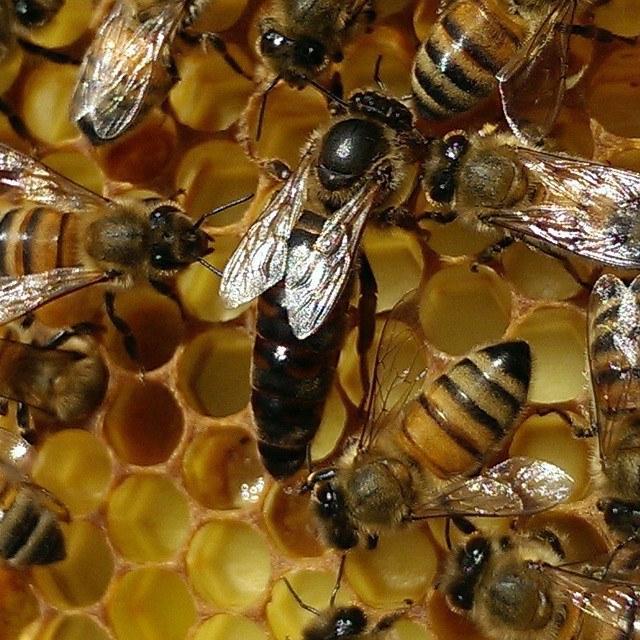 Queen Rearing talks by Dave Corbett & Paul Walton – Bedfordshire Beekeepers  Association
