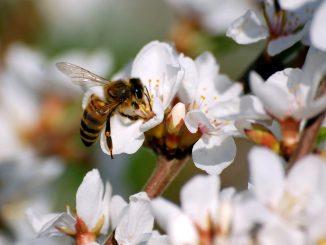 bee-on-cherry-blossom