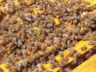 bees-in-hive